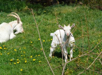 koza a kůzle