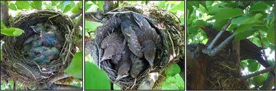 mláďata v hnízdě